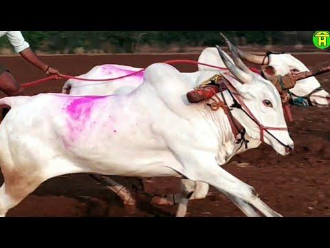 Xxx Mp4 बैलगाडी शर्यत कागणी आणि अजऱ्याची जोडी Racing Bulls Of Kagani Amp Ajara Running 1537 Feet 3gp Sex