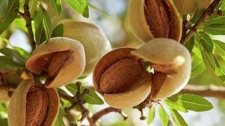 How to grow  Almond /बादाम की खेती [ GROWING ALMOND TREE BY CUTTING ] (Hindi video)