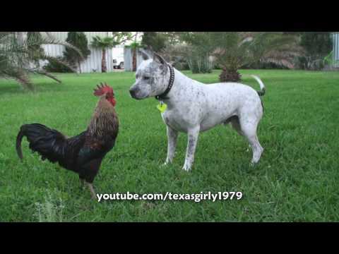 Pit Bull Sharky the Bodyguard Dog VS Mr. Rooster ATTACKS. HelensPets