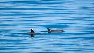 Vaquita - Saving the Desert Porpoise