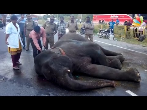Elephant collapses after bus accident in Hosur