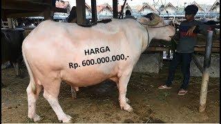 Pasar Hewan Rantepao, Harga kerbau mencapai 600 juta
