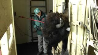 Tagging Wood Bison