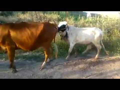 Xxx Mp4 Pakistan Funny Clip Desi Funy Cow Video Hahaha 3gp Sex