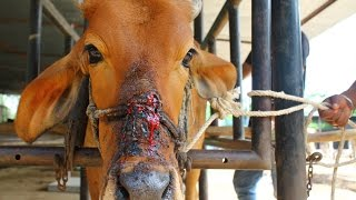 Cow injured from halter cutting into face rescued