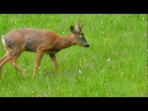 Lov na srnjaka na paši Hunting on roe deer grazing