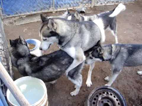 Huskys Siberianos y Shih Tzu 15 Nov 09 3