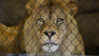 HUGE Male Lion Oregon Zoo Shocks Audience with Display