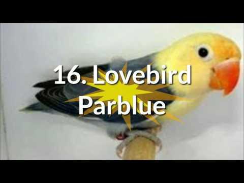 Berbagai Jenis Lovebird Cantik di Indonesia dan Penjelasannya