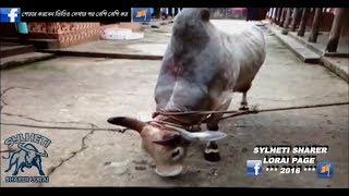 Sylheti Fighter Bull Biddut  2/3/4/5  2016 Gulapgonj
