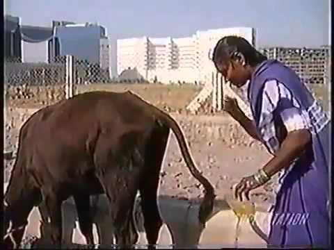 Why We Hindus Worship Mother Cow And Why We Drink Cow Urine