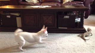 Chihuahua vs Bearded Dragon