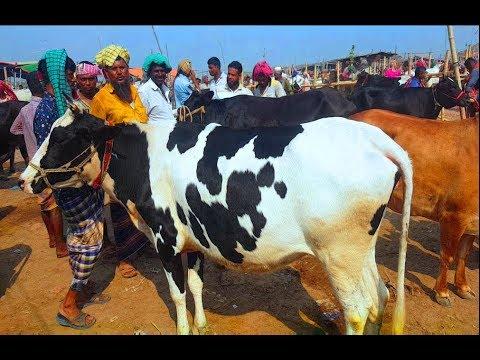 Xxx Mp4 639 Dairy Cow Market Price উন্নত জাতের গাভি গরুর মূল্যসহ প্রয়োজনীয় তথ্য জেনে নিন 3gp Sex