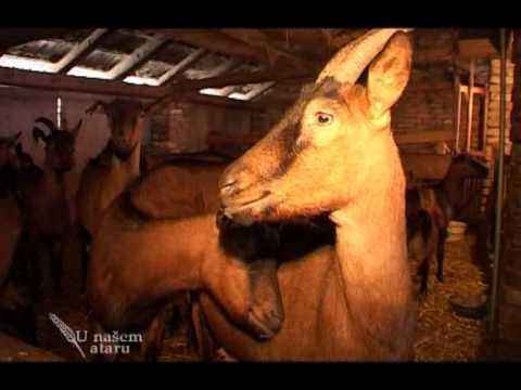 Farma koza u Kisacu U nasem ataru 318.wmv