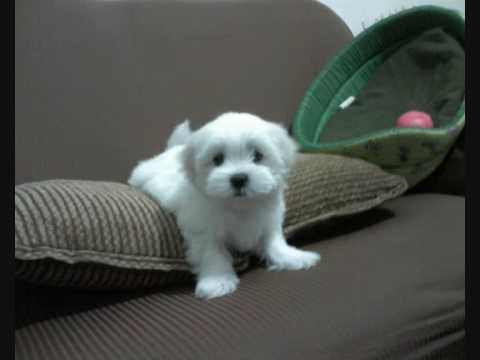 SHIVA Filhote Maltês com 45 dias de vida maltese puppy