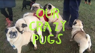 THE MOST BEAUTIFUL PUGS OF POLAND all together :)