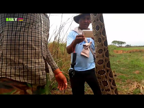 Awesome Brave Boys Catch Biggest Python on rice fields - Easy to Catch Village Snake 2017
