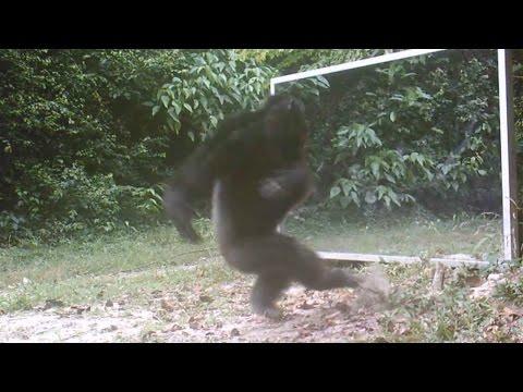 Chimps Attacks Mirror Reflections