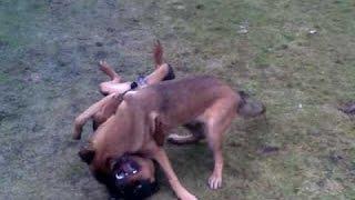 Rottweiler vs Berger Malinois