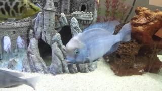 Huge 8 inch moori blue dolphin cichlid