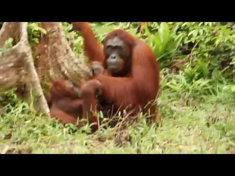 Xxx Mp4 Baby Orangutan Refuses To Let Parents Have Sex 3gp Sex