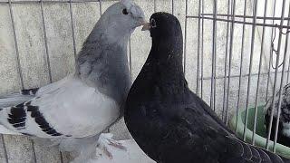 takla roller pigeon in sud algeria