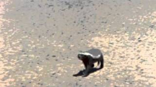 Honey Badger - The Most Fearless Animal On Earth