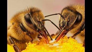 Весенний Лет Пчел С Пыльцой в Улей Приятеленко.