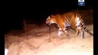 Exclusive: Watch the LIVE ENCOUNTER of man-eating tigress