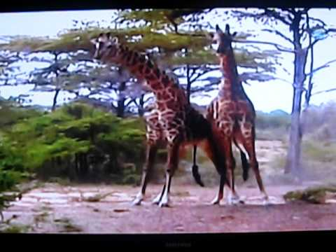 GIRAFAS ASSASSINAS