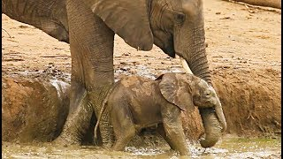 Elephants Rescuing / Protecting Calves - Compilation (Ep 1)