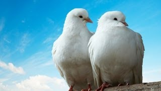 What Is a Dove Like as a Pet? | Pet Bird