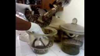 Preserve A Cobra With Formalin(Working Video)