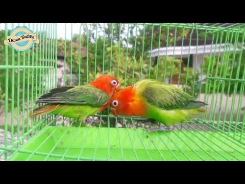Opaline Fischeri Vs Josan | perbedaan Lovebird Biola dan Josan #duniabinatang