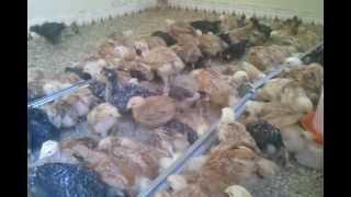 تربية الدجاج في مراكش