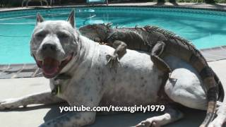 Hilarious! Iguana LOVES Dog Pit Bull Sharky. Happy MOTHER'S Day! www.HelensPets.com