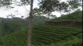 Sepasang kekasih mesum di kebun teh