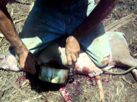 Matando porco em Itaocara