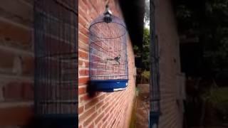 Burung Gelatik Wingko Kicau Isian Gacor  Perawatan Terbaik