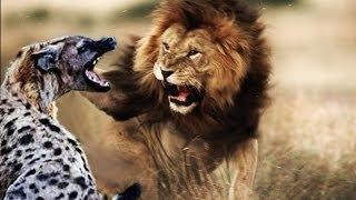 HIENAS vs LEÃO Luta Até a Morte ( Hyenas vs Lion - Fight to Death )