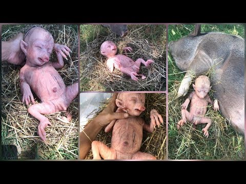 Shocked! baby hybrid pig - Result when man have sex with animals (pig)_terrace tv