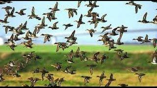 Otithi pakhi|Guest Birds at Jahangirnagar University ,Bangladesh|Winter Birds|Winter Guest Birds