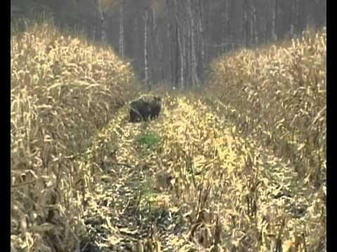Grosse Schweinerei beim Mais dreschen Wildschwein