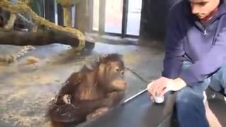 Orangutan laughing at a magic trick done by a visitor at the Barcelona Zoo