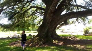 Giant Oak Tree in Louisiana: Bigger than ones @ City Park in New Orleans. Biggest non-redwood in US?