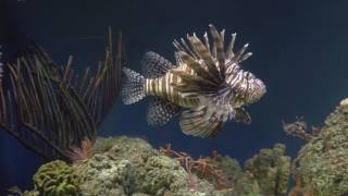48 Days of Blue: Lionfish are Delicious