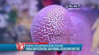 Kontes Kecantikan Ikan Louhan di Bandung