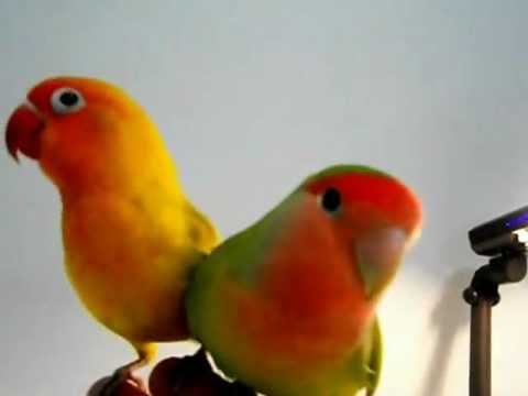 Perry & Cherry, my tamed pair lovebirds