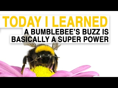 watch TIL: A Bumblebee's Buzz Is Basically a Superpower | Today I Learned