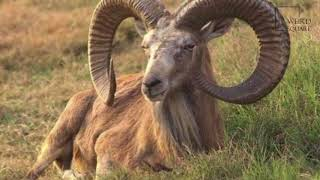 Interesting facts about urial by weird square